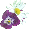 violetdaisy